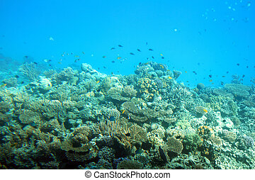 fish among corals in Red Sea
