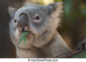 Koala Bear - Young Koala Bear eating Eucaliptus Leaves