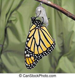 monarca, mariposa, y, crisálida