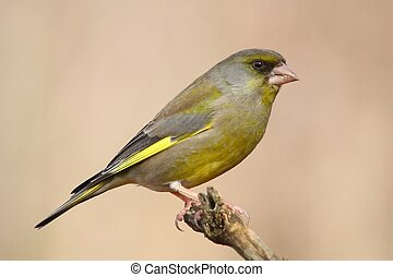 Greenfinch near the bird feeder in a Hungarian forest