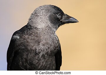 Jackdaw in a city park