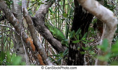 Iguana Resting in a tree Florida Keys