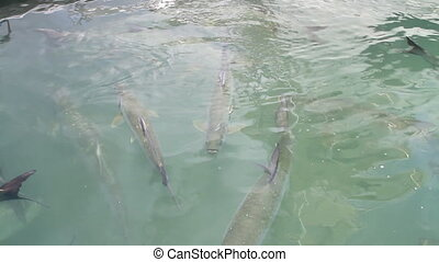 Tarpond Feeding Three  - Tarpon Feeding Clip Three