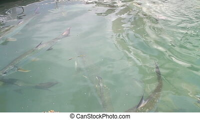 Tarpon Feeding Two