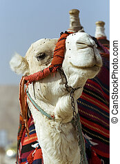 Head and neck of a camel decorated with colorful tassels and...