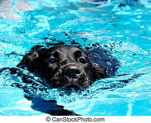 Stella Learns to Swim - 5 month old chocolate lab learns to...