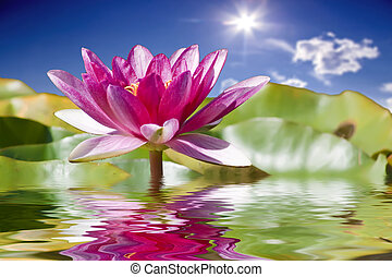 Water lily - Water flowers. Water lily.