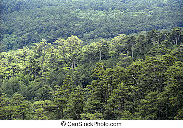 Coniferous forest - Continuous coniferous forest. View from...