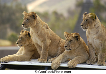 Lion Cub Club - Four lion cubs watch as their parent stalk...