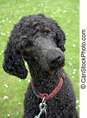Poodle turning head and listening - Black standard poodle -...