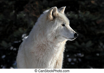 White Wolf - White Timber Wolf (Canis lupus) in winter