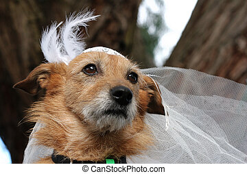 Dog in a bridal veil - Cute scruffy terrier dog wearing a...