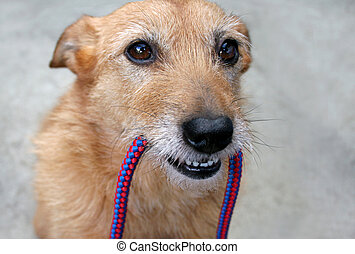 Dog with leash - Cute scruffy terrier dog holding her leash...