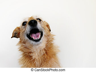 Dog with a happy grin - Cute scruffy dog with a happy smile...