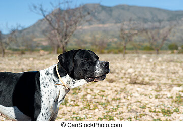 Pointer hunting dog - Black and white pointer hunting dog in...