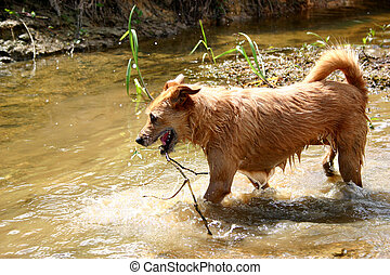Dog in the river - Cute scruffy terrier dog standing in the...