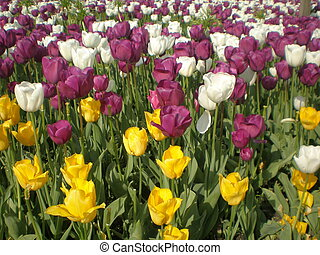 Variety of Colors of Tulips