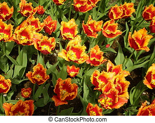 Red and Yellow Tulips - Flowers in Garden in Netherlands
