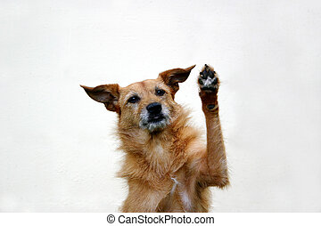 Dog with her paw raised - Cute scruffy terrier dog with her...