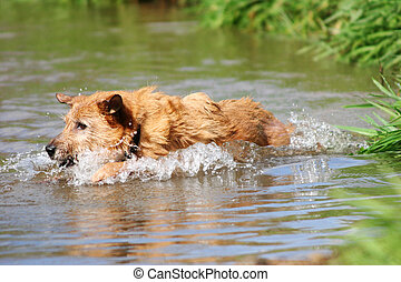 Dog swimming in the creek - Cute scruffy terrier dog...