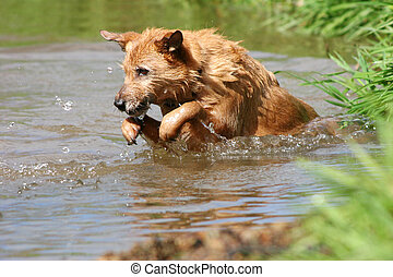 Dog leaping in the water - Cute scruffy terrier dog mid jump...