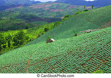 Cabbage garden - Cabbage cultivation of tribesman in...