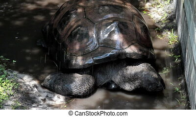 Giant Tortoise in the Rain