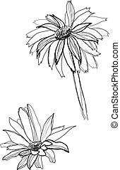 drawing gerbera - gerbera flower drawing on white background