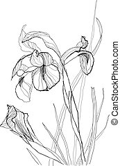 drawing irises 2 - Iris flower drawing on white background