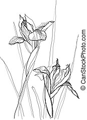 drawing irises - pen, old, ink, print, white, decor, black,...
