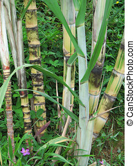 Sugar cane plant is a tropical and sub-tropical crop
