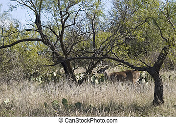 texas whitetail - whitetail deer in the west Texas desert