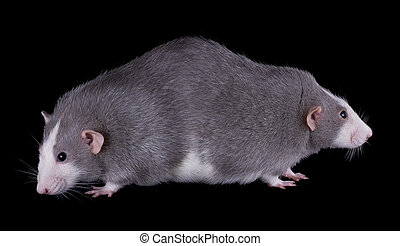 Siamese Twin Rats - Two rats are joined at the back like...