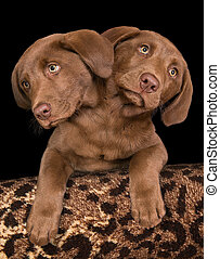 Two headed puppy