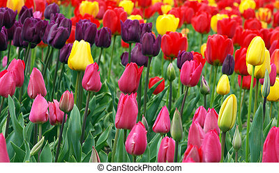 Colorful tulips - Spring field with purple, pink, red and...
