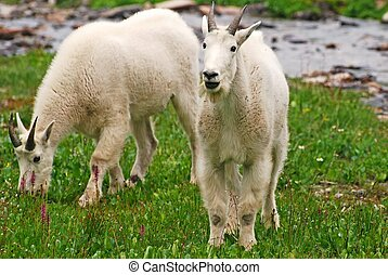 Rocky Mountain Goats - Two Rocky Mountain Goats grazing...