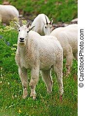 Mountain Goats Grazing - Rocky Mountain Goats standing in...