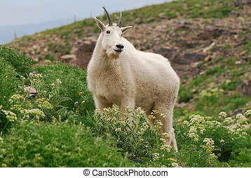 Rocky Mountain Goat standing in wildflowers on Mt...