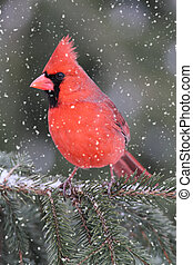 Cardinal In A Snow Storm - Male Northern Cardinal...