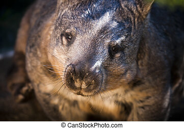 Wombat - Australian Wombat Looking directly into the Camera