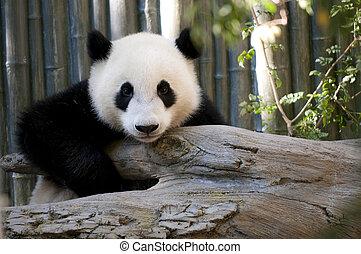 Young Panda - One cute young Panda Bear looking directly...
