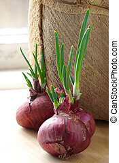 Germinated onions - Germinated red onions on rustic...