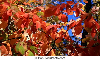 Autumn Sassafras Leaves HD Loop - Vivid autumn sassafras...