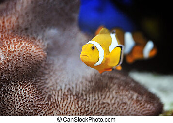 Clownfish - The Marine Fish - Ocellaris clownfish