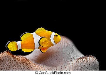 Fish - The Marine Fish - Ocellaris clownfish