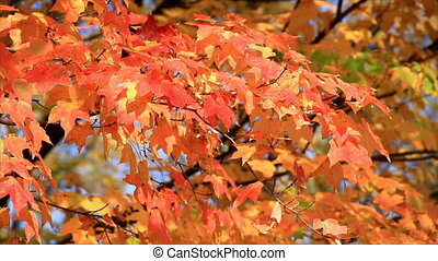 Autumn Orange Maple Leaves HD Loop