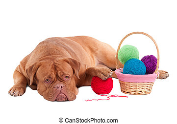 Dog with knitting balls - Big dogue de bordeaux is having a...