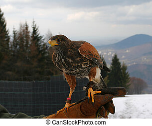 Falconry - Harris hawk on the hand of falconer Beautiful...