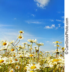ox-eye daisy in the field...
