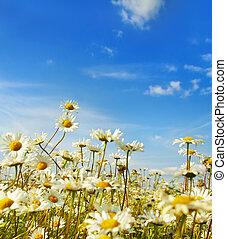ox-eye daisy in the field...